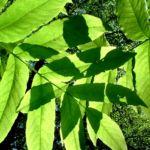Fluegelnuss Blatt Pterocarya fraxinifolia 01