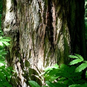 Fluegelnuss Blatt Pterocarya fraxinifolia 02