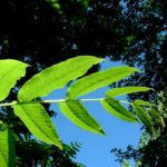 Fluegelnuss Blatt Pterocarya fraxinifolia 04