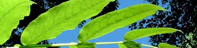 Anklicken um das ganze Bild zu sehen Flügelnuss Blatt - Pterocarya fraxinifolia