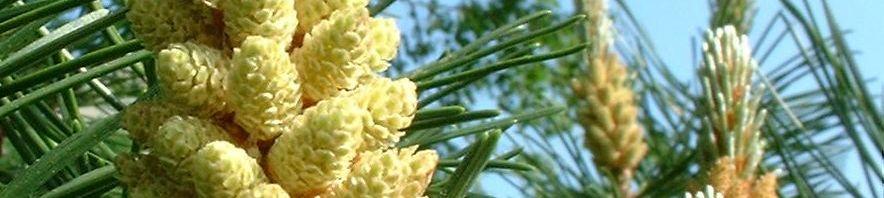 Anklicken um das ganze Bild zu sehen Föhre Zapfen braun Blüte gelblich Pinus