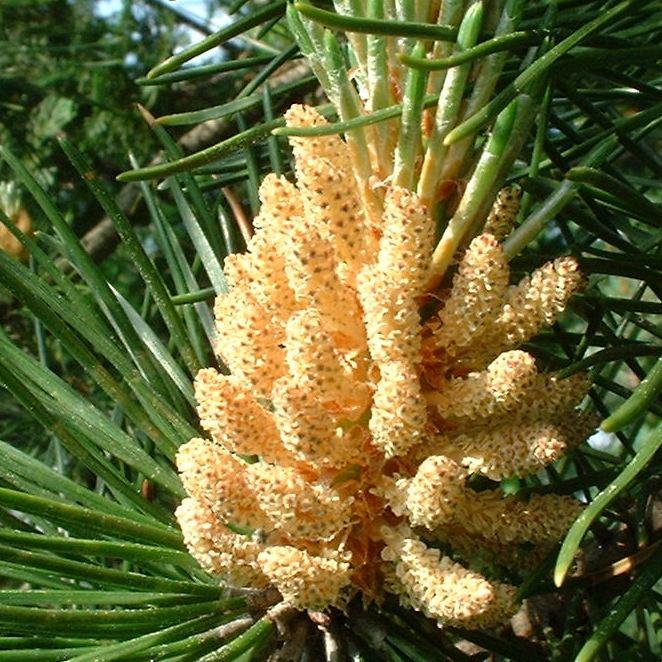 Foehre Pinus