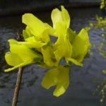 Bild:  Forsythie Blüte gleb Forsythia x intermedia