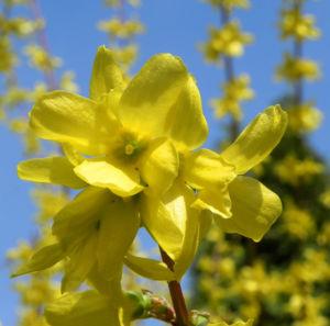 Forsythie Busch Bluete gelb Forsythia intermedia 04