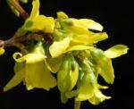 Forsythie Busch Bluete gelb Forsythia intermedia 05