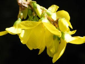 Forsythie Busch Bluete gelb Forsythia intermedia 06