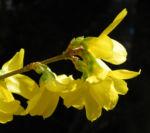 Forsythie Busch Bluete gelb Forsythia intermedia 07