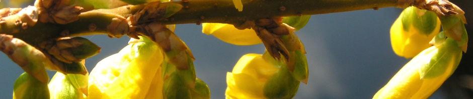 Anklicken um das ganze Bild zu sehen  Forsythie Strauch Blüte gelb Forsythia intermedia
