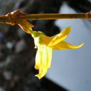 Forsythie Strauch Bluete gelb Forsythia intermedia 05