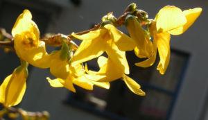 Forsythie Strauch Bluete gelb Forsythia intermedia 13