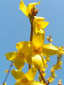 Forsythie Strauch Bluete gelb Forsythia intermedia 16