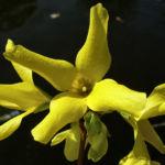 Bild:  Forsythie gelbe Blüte Forsythia intermedia