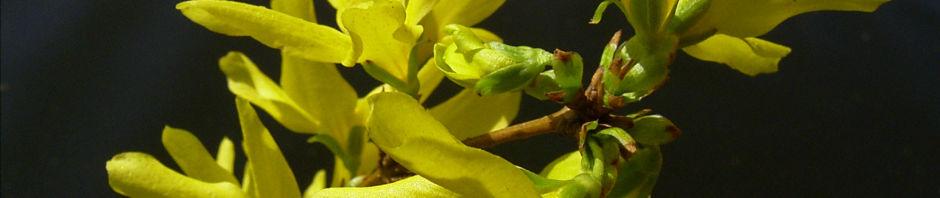 forsythie-gelbe-bluete-forsythia-intermedia