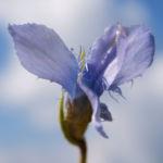Bild: Gewöhnlicher Fransenenzian Blüte hellblau Gentianella ciliata