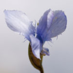 Fransen Enzian Bluete hellblau Gentianella ciliata 03