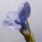 Fransen Enzian Bluete hellblau Gentianella ciliata 04