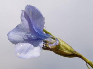 Fransen Enzian Bluete hellblau Gentianella ciliata 05
