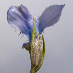 Fransen Enzian Bluete hellblau Gentianella ciliata 07