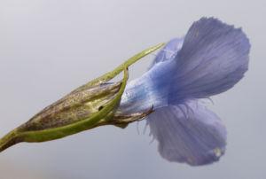 Fransen Enzian Bluete hellblau Gentianella ciliata 08