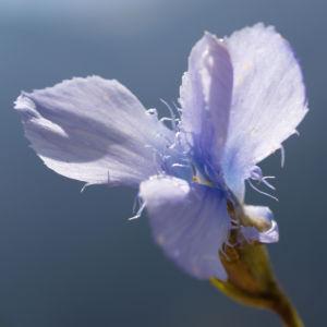 Fransen Enzian Bluete hellblau Gentianella ciliata 11