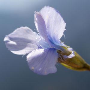 Fransen Enzian Bluete hellblau Gentianella ciliata 12