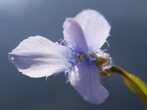 Fransen Enzian Bluete hellblau Gentianella ciliata 13