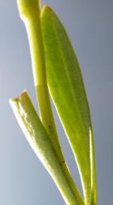 Fransen Enzian Bluete hellblau Gentianella ciliata 17
