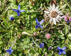 Fransen Enzian Bluete hellblau Gentianella ciliata 21