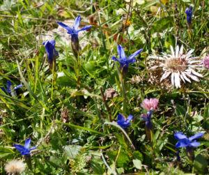 Fransen Enzian Bluete hellblau Gentianella ciliata 22