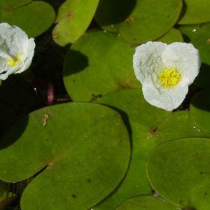 Froschbiss Bluete Hydrocharis morsus ranae 04