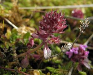 Fruehbluehender Thymian Bluete pink Thymus praecox 01
