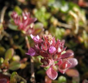 Fruehbluehender Thymian Bluete pink Thymus praecox 02