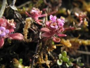 Fruehbluehender Thymian Bluete pink Thymus praecox 05