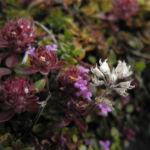Fruehbluehender Thymian Bluete pink Thymus praecox 07