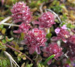Fruehbluehender Thymian Bluete pink Thymus praecox 08