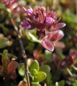 Fruehbluehender Thymian Bluete pink Thymus praecox 09