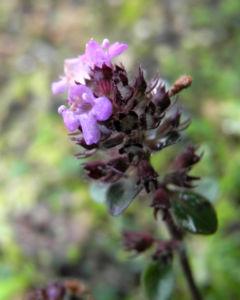 Fruehbluehender Thymian Bluete pink Thymus praecox 11