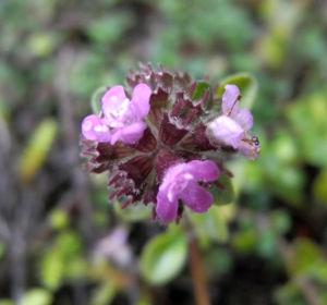 Fruehbluehender Thymian Bluete pink Thymus praecox 12