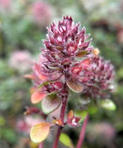 Fruehbluehender Thymian Bluete pink Thymus praecox 13