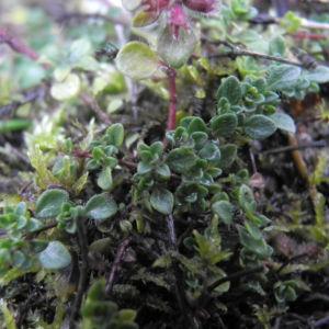 Fruehbluehender Thymian Bluete pink Thymus praecox 14