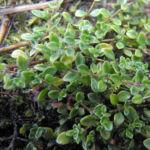 Fruehbluehender Thymian Bluete pink Thymus praecox 15