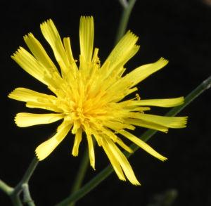 Fruehbluehendes Habichtskraut Bluete gelb Hieracium glaucinum 02