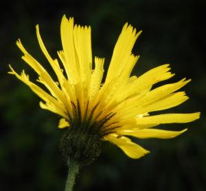 Fruehbluehendes Habichtskraut Bluete gelb Hieracium glaucinum 20