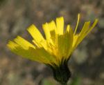Bild: Frühblühendes Habichtskraut Blüte gelb Hieracium glaucium