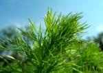 Fruehlings Adonisroeschen Blatt gruen Adonis vernalis 01