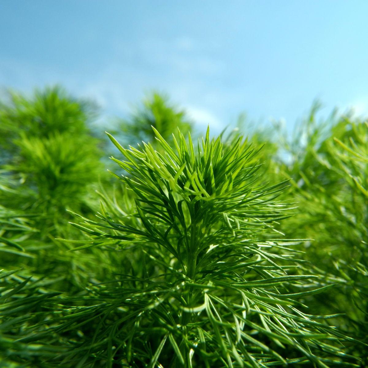 Fruehlings Adonisroeschen Blatt gruen Adonis vernalis