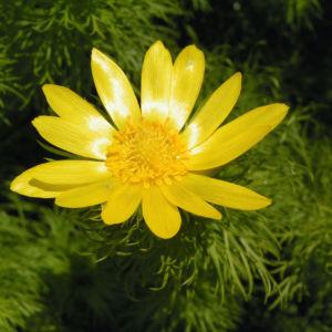 Fruehlings Adonisroeschen Bluete gelb Adonis vernalis 01
