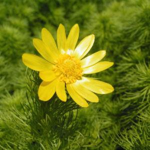 Fruehlings Adonisroeschen Bluete gelb Adonis vernalis 03