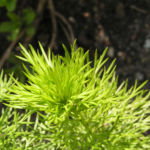 Fruehlings Adonisroeschen Bluete gelb Adonis vernalis 04