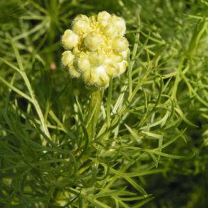 Fruehlings Adonisroeschen Bluete gelb Adonis vernalis 06